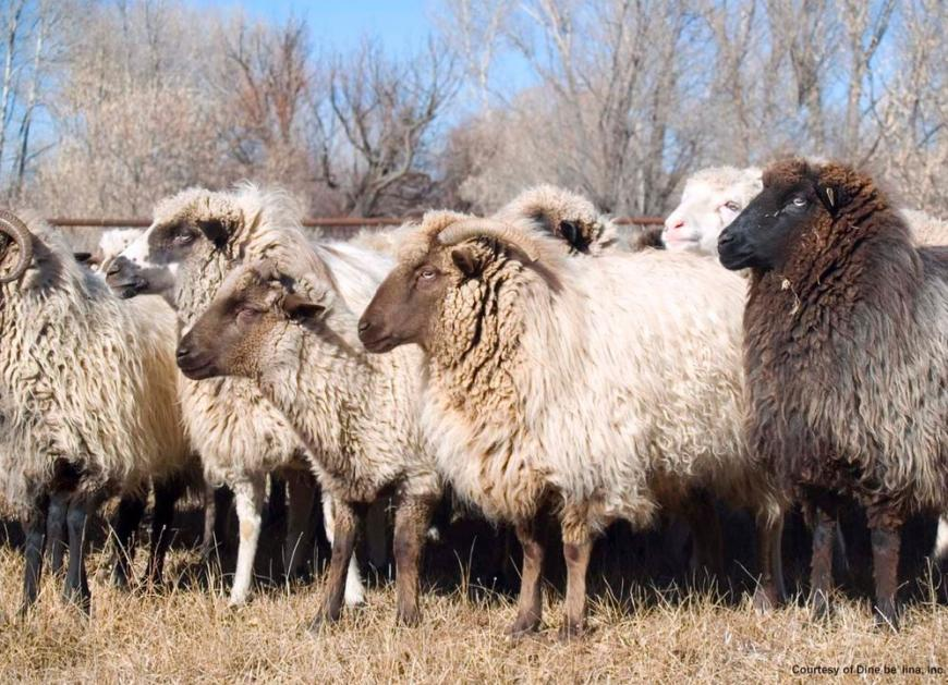 Navajo sheep